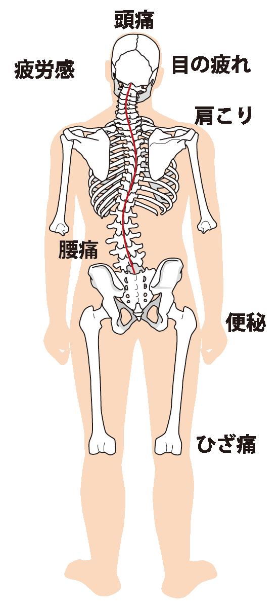 全身の骨格イラスト